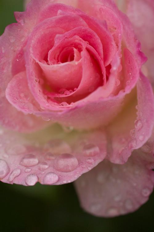 rose_Matilda_2.jpg