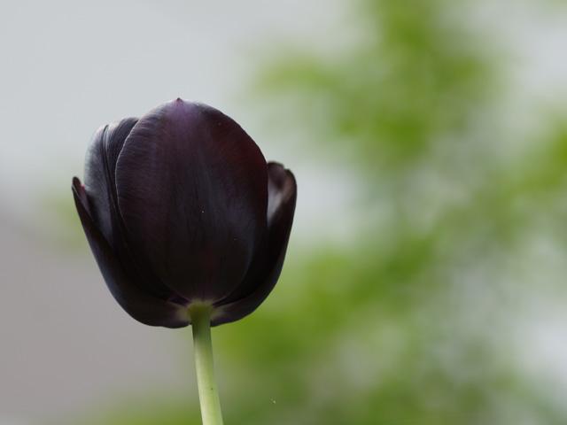 黒っぽいチューリップ