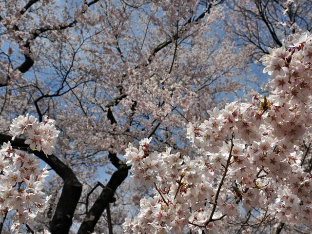 満開、高遠の桜