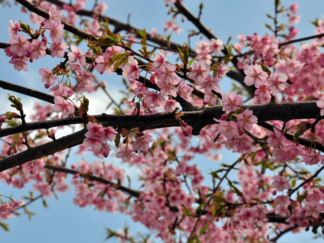 中伊豆の桜