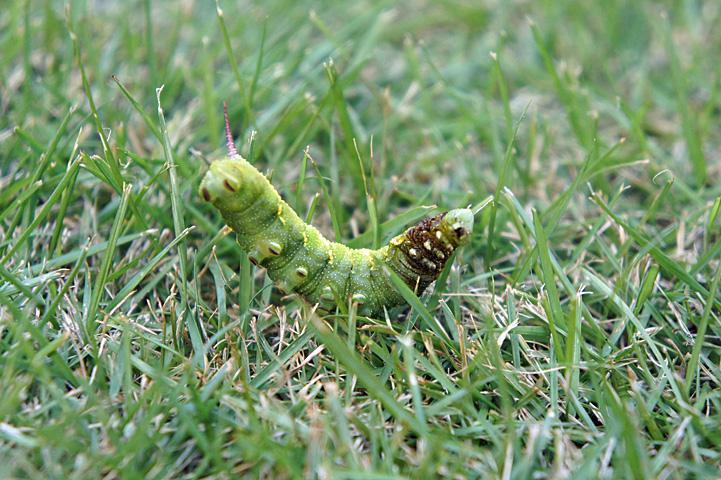 のたうつ幼虫