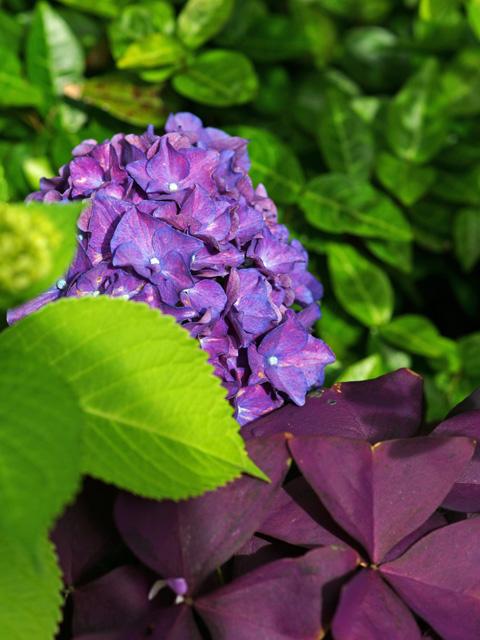 紫紺のアジサイ