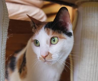 グリーンアイとクラシカルな三毛猫柄が美しいマルイちゃん