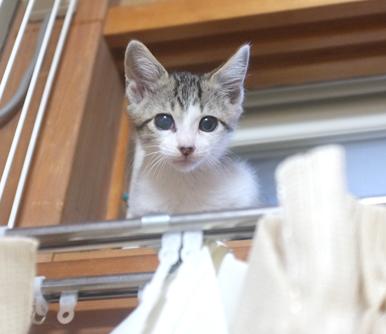 高いところ登ってカーテンをボロボロに!