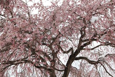 軽井沢の桜jj
