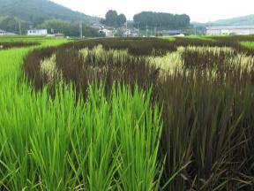 近くで稲を見てみました