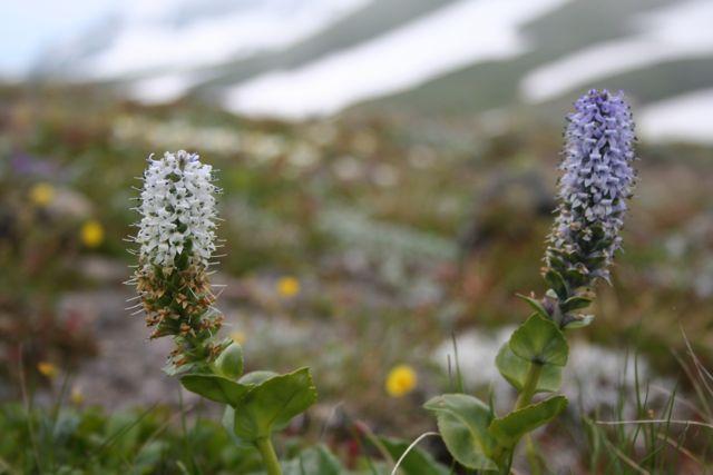 ウルップソウの白花