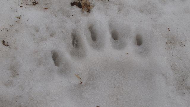 熊の足跡1