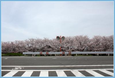 20130401桜と横断歩道