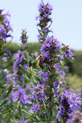 20130607 ハーブとハチ