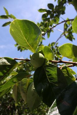 20130710柿