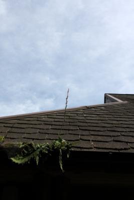 20130720屋根に咲くネジバナ