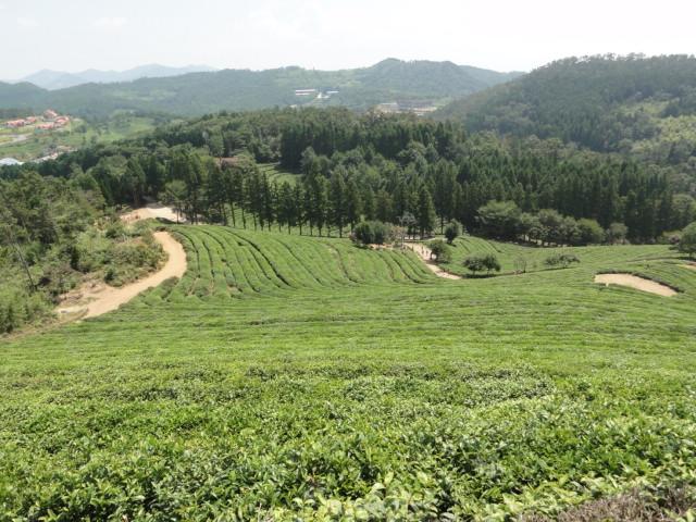 2013年8月18日 宝城茶畑1