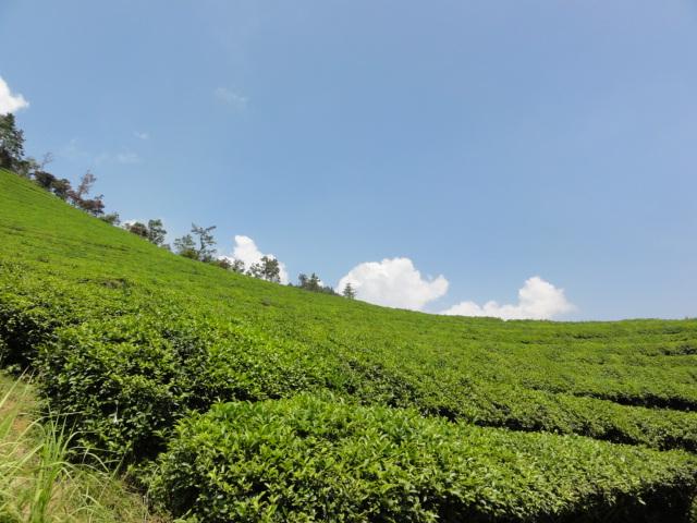 2013年8月18日 宝城茶畑4