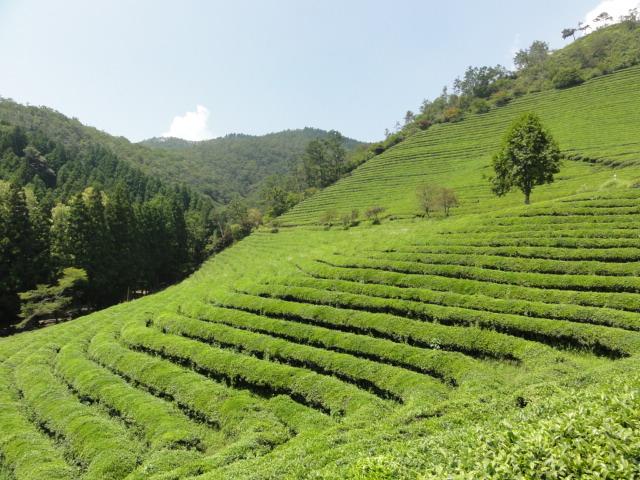 2013年8月18日 宝城茶畑2