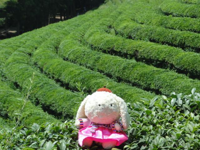 2013年8月18日 宝城茶畑3