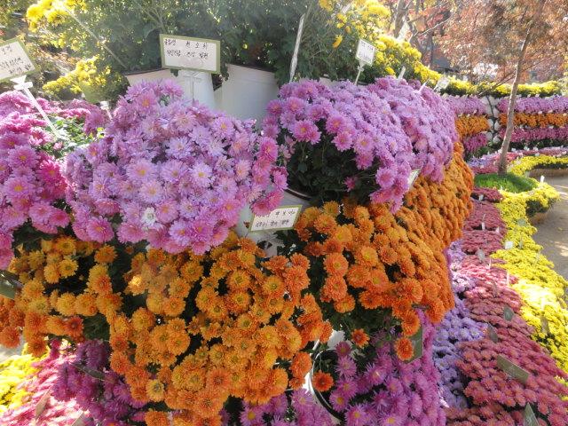 2013年10月27日チョゲサ菊祭 菊花1