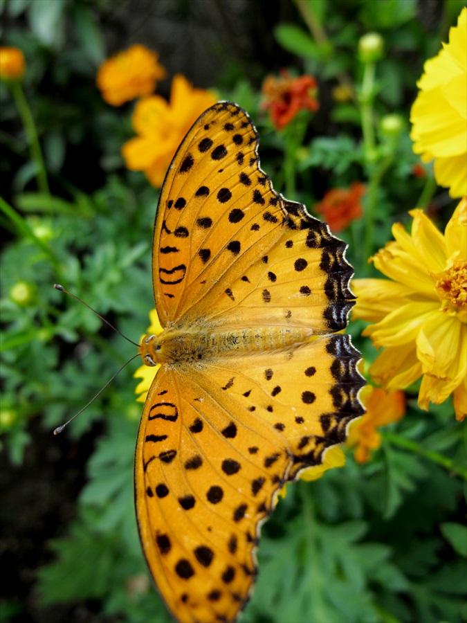 スカイツリーデッキ花壇で見つけた蝶03