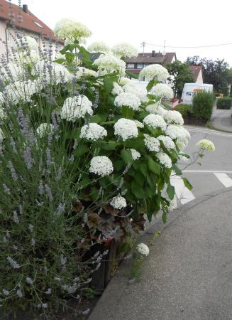 白い紫陽花の花壇1