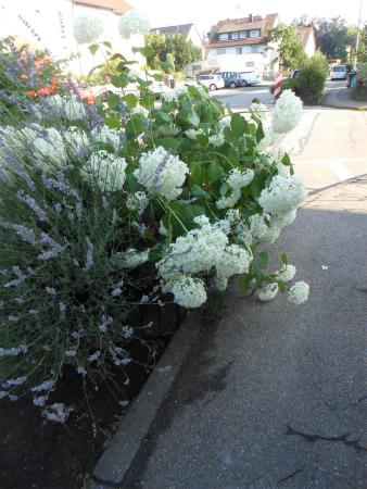 白い紫陽花の花壇3