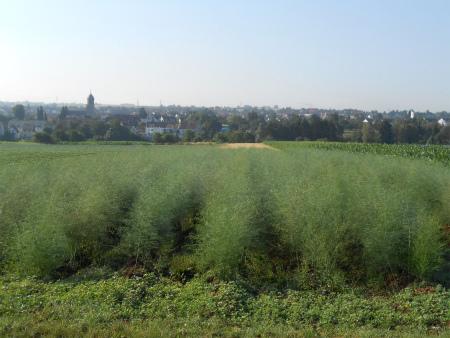 緑アスパラ畑