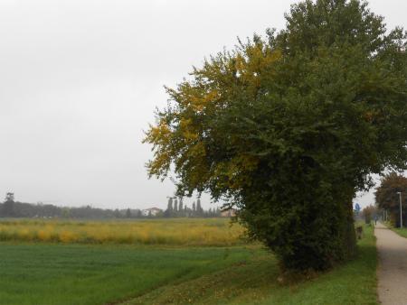 黄色のボウボウ