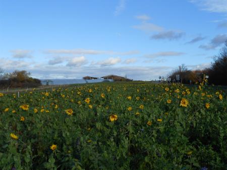 ヒマワリ畑1