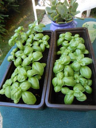 家庭菜園8