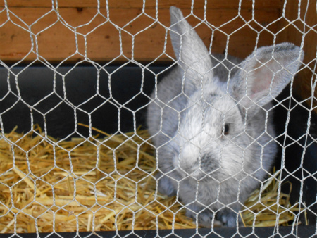 農家のウサギ