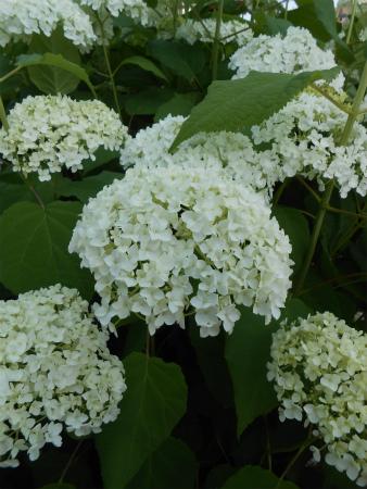 白い紫陽花の花壇2