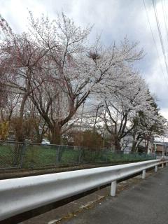 あけさんの桜