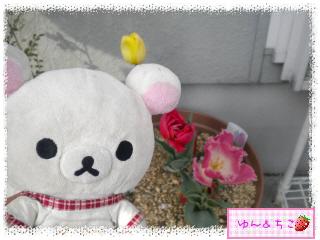 ちこちゃんのチューリップ観察日記★19★センパイ咲いた?-1