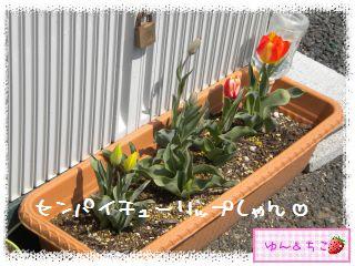 ちこちゃんのチューリップ観察日記★19★センパイ咲いた?-5