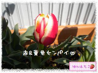 ちこちゃんのチューリップ観察日記★19★センパイ咲いた?-6
