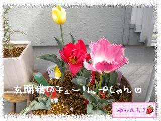 ちこちゃんのチューリップ観察日記★20★満開??-1