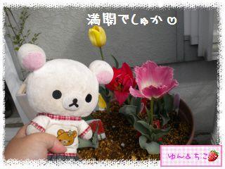 ちこちゃんのチューリップ観察日記★20★満開??-4