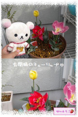 ちこちゃんのチューリップ観察日記★21★咲き乱れ??-2