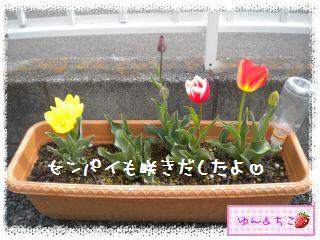 ちこちゃんのチューリップ観察日記★21★咲き乱れ??-3