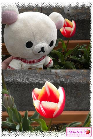 ちこちゃんのチューリップ観察日記★21★咲き乱れ??-5