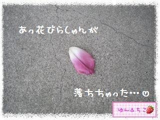 ちこちゃんのチューリップ観察日記★24★フリンジ咲きしゃんありがと♪-1