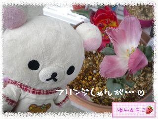ちこちゃんのチューリップ観察日記★24★フリンジ咲きしゃんありがと♪-2