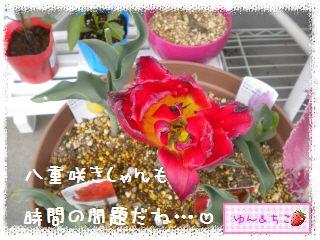 ちこちゃんのチューリップ観察日記★24★フリンジ咲きしゃんありがと♪-3