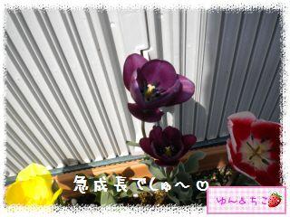 ちこちゃんのチューリップ観察日記★25★センパイしゃん続々…-3