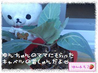 ちこちゃんのキャベツ観察日記★1★始めましゅ-3