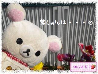 ちこちゃんのチューリップ観察日記★26★ピンクしゃん-4