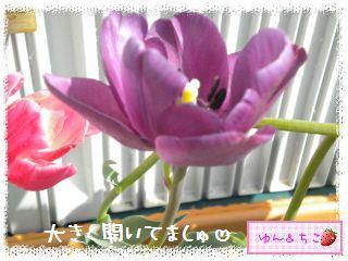 ちこちゃんのチューリップ観察日記★26★ピンクしゃん-5