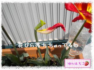 ちこちゃんのチューリップ観察日記★27★あっ。花びらしゃんが-2