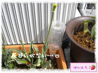 ちこちゃんの観察日記★29★花びらしゃんが・・・再び-4