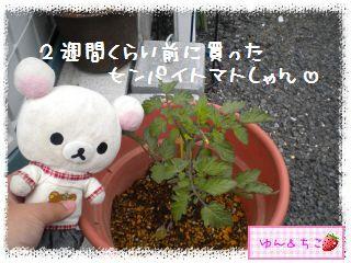 ちこちゃんのトマト観察日記★1★今年も始めます-3