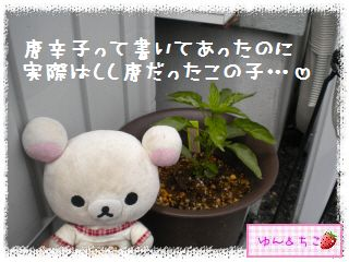 ちこちゃんのトマト観察日記★1★今年も始めます-4